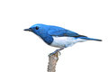 Ultramarine flycatcher bird colorful blue and white male ficedula superciliaris perching on a branch side profile Stock Photography