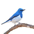 Ultramarine flycatcher bird colorful blue and white male ficedula superciliaris perching on a branch side profile Stock Photos