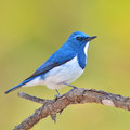 Ultramarine flycatcher bird colorful blue and white male ficedula superciliaris perching on a branch side profile Royalty Free Stock Image