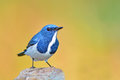 Ultramarine flycatcher bird colorful blue and white male ficedula superciliaris sitting on the rock breast profile Royalty Free Stock Image