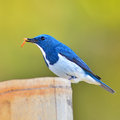Ultramarine flycatcher bird colorful blue and white male ficedula superciliaris stading on a stump breast profile Royalty Free Stock Image
