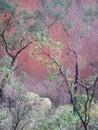Uluru through the trees Royalty Free Stock Image