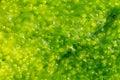 Ulva alga background Stock Image