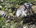 Um lemur atado anel (Lemur Catta) Fotos de Stock