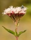Uma mosca em uma flor cor-de-rosa Fotografia de Stock