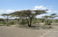 Umbrella acacia group of trees in tanzania africa in sunny ambiance Royalty Free Stock Images