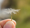 Umbrella dandelion seed between forefinger and thumb by summer Royalty Free Stock Photo