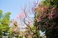 Ume Blossoms in Kitano Tenmangu Shrine, Kyoto Royalty Free Stock Photo