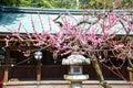 Ume Blossoms and Lantern in Kitano Tenmangu Shrine, Kyoto Royalty Free Stock Photo