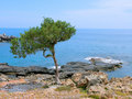 Un arbre de pin sur un bord de la mer Photographie stock