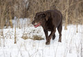 Un chocolat labrador retriever dépiste un parfum par un champ neigeux Photos stock