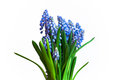 Un groupe de muscari bleu d isolement Photo stock