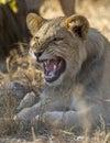 Un jeune lion masculin grondant afrique du sud Photos stock