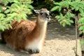 Un lama menteur (Guanaco) Images libres de droits