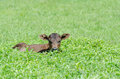 Un petit veau hidding de brown dans l herbe Images stock