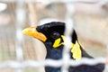 Un piccolo uccello in una gabbia (uccello del kuntong) Fotografia Stock
