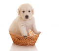 Un puppie de mois de golden retriever Photographie stock