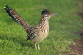 Un roadrunner plus grand Photos stock