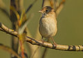 Un whitethroat Fotografia Stock