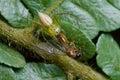 Una araña con la presa - una hormiga coa alas del lince Foto de archivo libre de regalías