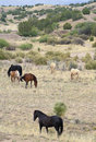 Una manada del mustango conocida como salvaje o feral horses Fotografía de archivo