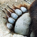 Una zampa dell'orso dell'orso grigio Immagine Stock