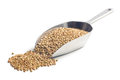 Uncooked buckwheat in metal scoop Royalty Free Stock Photography
