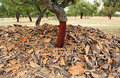 Uncorking the cork oak andalusia spain harvesting forest natural park alcornocales cadiz province Stock Images