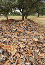Uncorking the cork oak andalusia spain harvesting forest natural park alcornocales cadiz province Royalty Free Stock Photo