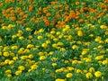 Uncountable Vivid Yellow And O...