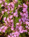 Uncultivated flowering thyme. Royalty Free Stock Photo