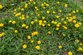 Uncultivated grass land with lots of dandelions Royalty Free Stock Photo