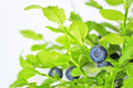 Uncultivated huckleberry on twigs witn green leaves Royalty Free Stock Photo