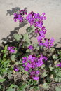 Uncultivated Lunaria annua plant in full bloom Royalty Free Stock Photo