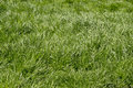 Uncut grass green under the sun in late april bend by the winds in all directions Stock Photos