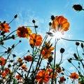 Cosmos flowers fields sky sunlight Royalty Free Stock Photo