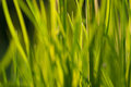 Under the bright sun. Abstract natural backgrounds. Fresh green spring grass on the lawn with the selective focus blurred bokeh Royalty Free Stock Photo