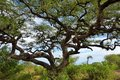 Umbrella acacia in Tanzania, Africa Royalty Free Stock Photo