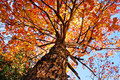 Under a maple tree looking up sugar during the fall or autumn beautiful orange and yellow leaves Royalty Free Stock Image
