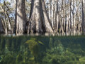 Under and over the water view of cypress trees Royalty Free Stock Photo