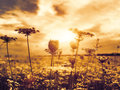 Under theevening sun abstract natural backgrounds with wild flowers Stock Photos