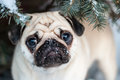 Under the tree. Pug in snow. Muzzle pug. Royalty Free Stock Photo