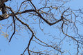 Under View of Tree Branches Against Blue Sky Royalty Free Stock Photo