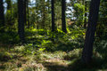 Undergrowth scandinavian forest and pines sunny day Stock Photos