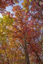 Underneath a Red Autumn Canopy Royalty Free Stock Photo