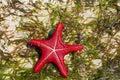 Undersea ocean wildlife, sea star fish Royalty Free Stock Photo