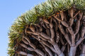 Underside Of Dragon Blood Tree