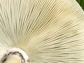Underside gills of mushroom fungi texture Royalty Free Stock Photo