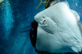 Underside of a southern stingray and diver play with Royalty Free Stock Photos