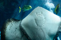 Underside of a southern stingray under the light from bahamas Royalty Free Stock Photos